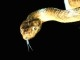 Brown_tree_snake_Boiga_irregularis_2_USGS_Photograph