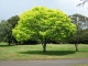 Bright_green_tree_-_Waikato-2