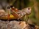 grasshopper shutterstock