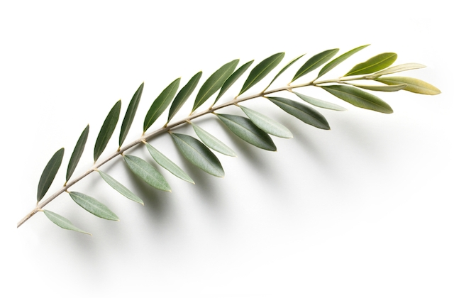 Olive branch. Peace Symbol.Similar photographs from my portfolio: