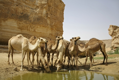Rebecca gave water to Isaac's camels