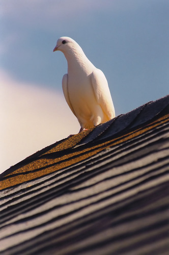 dove on a roof