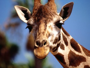 free-giraffe-face-and_274898