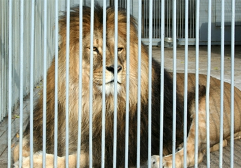 lion-in-cage_hp.jpg