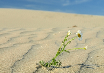 miracle-sand-flower_hp.jpg