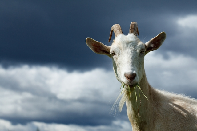 A goat with straws of grass in its mouth alongside clouds