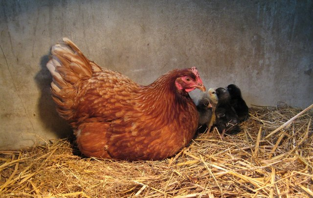 Chicken Sitting On Eggs: A New Year's Resolution To Be Proud Of (That You Actually