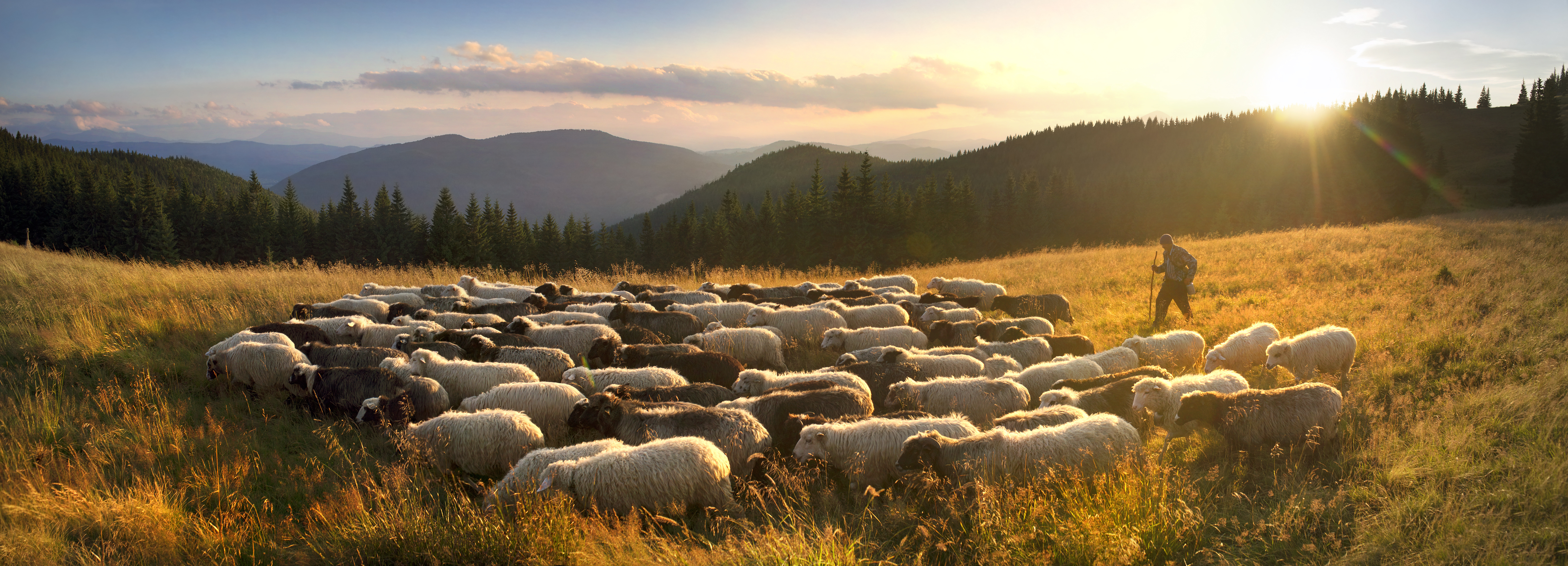 Ukraine, Vorohta- July 28, 2015: High in the mountains at sunset shepherds graze cattle among the panorama of wild forests and fields of the Carpathians. Sheep provide wool, milk and meat for agriculture