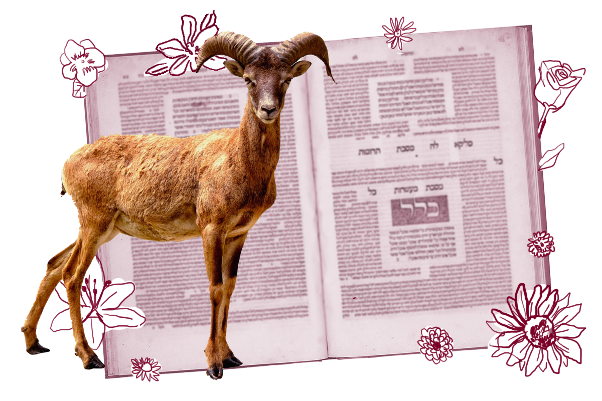 Picture of a goat in front of a page of Talmud.