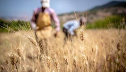farm workers in wheat field